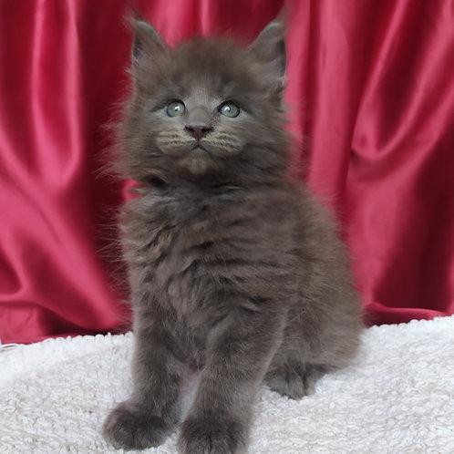 Eldzhey Maine Coon male kitten