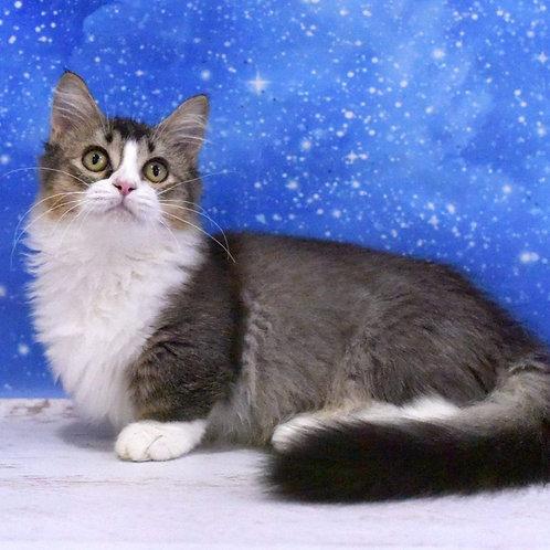402 Fabian  Munchkin longhair male kitten
