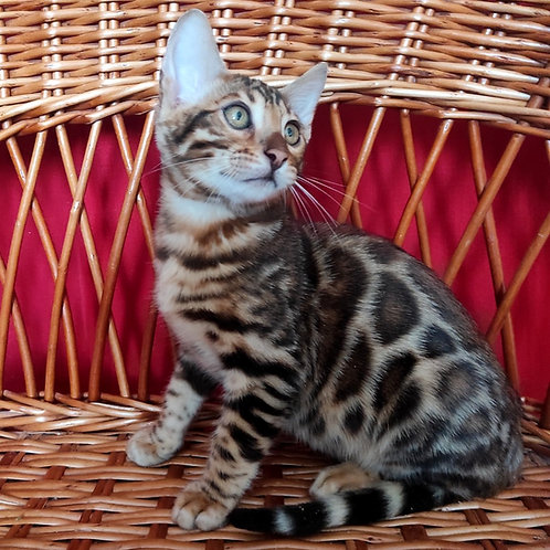 28 Salvador  purebred Bengal male kitten