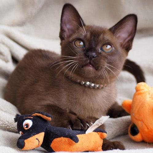 201 Chaaty   Burmese  female kitten