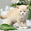 Thumbnail: 687 Dixon  British shorthair male kitten