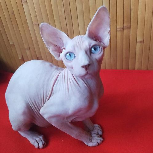 Teqila female Sphinx kitten