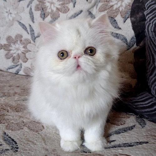 246 Orchideya Persian  female kitten
