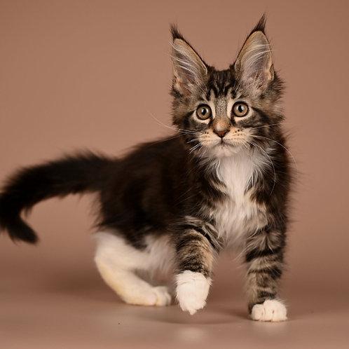 486 Wendy    Maine Coon female kitten