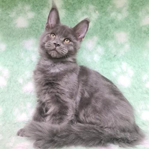 739 Q man Maine Coon male kitten