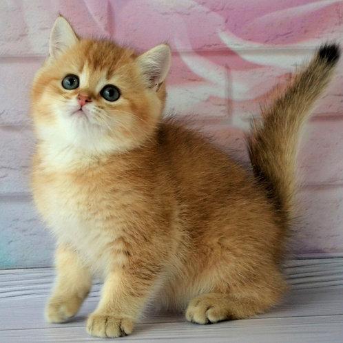 34 Oxford  British shorthair male kitten