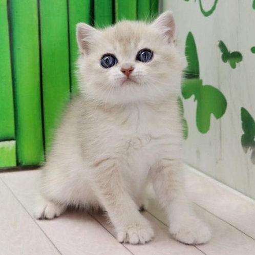 1079 Bonnie  British shorthair female kitten