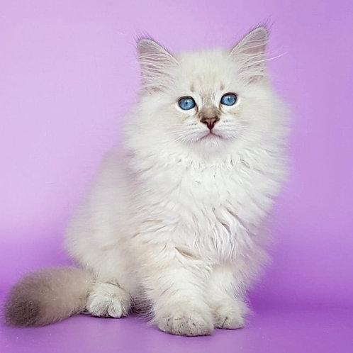 323 Murmur     Siberian male kitten