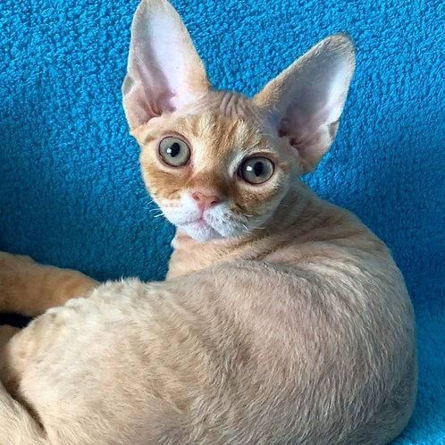 624 Irishman  male kitten Devon Rex