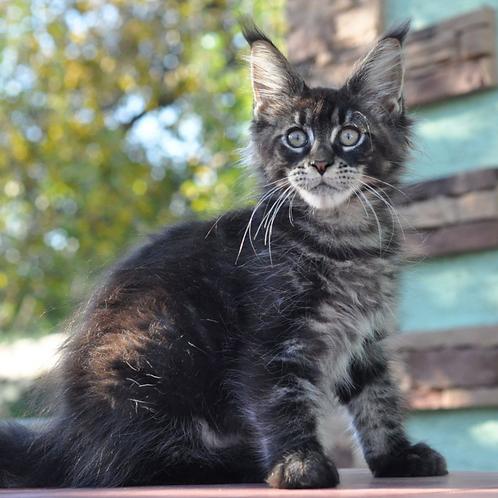 880 Irbis  Maine Coon male kitten