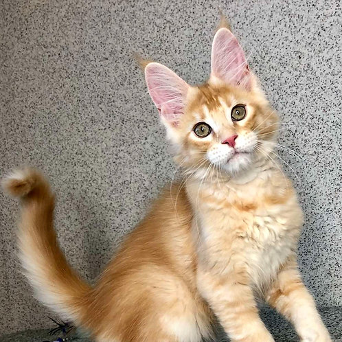 565 Velvet  Maine Coon male kitten