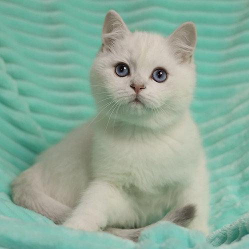 401 Plombir   British shorthair  male kitten