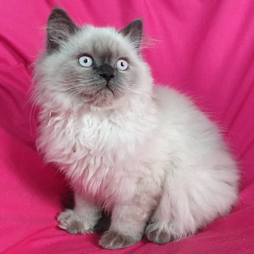 461 Monika      Scottish straight longhair female kitten