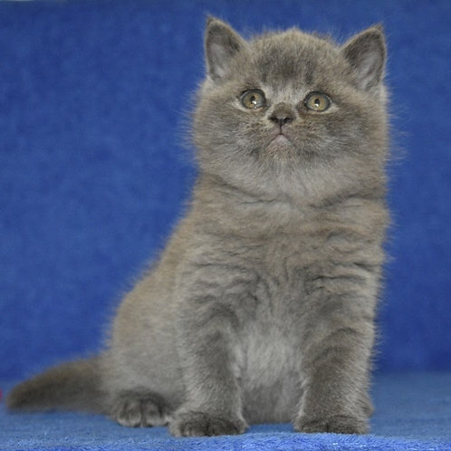 Urban British shorthair male kitten