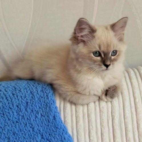 435 Ofelia   Ragdoll female kitten