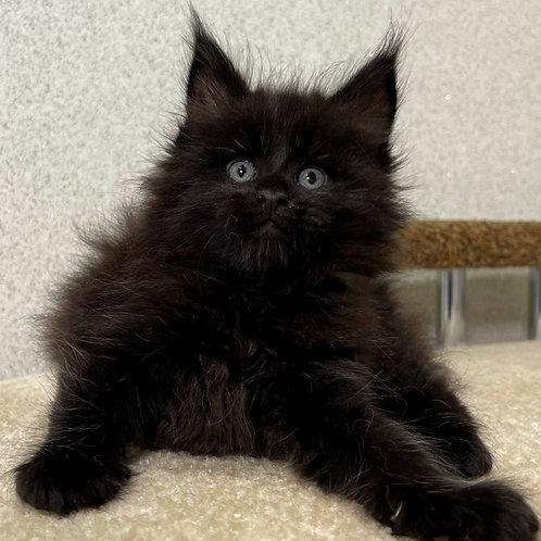 606 Jony  Maine Coon male kitten