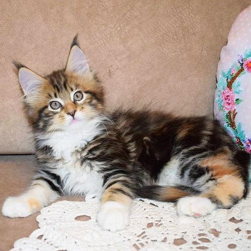 298 Carizma  Maine Coon female kitten