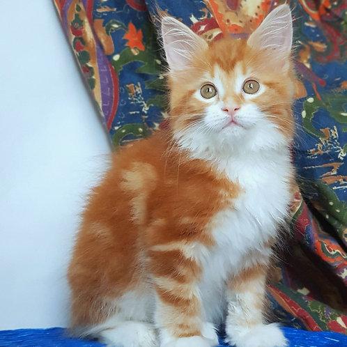 478 Lolita  Maine Coon female kitten