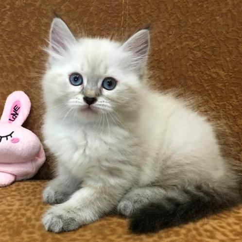 133 Neera     Siberian female kitten