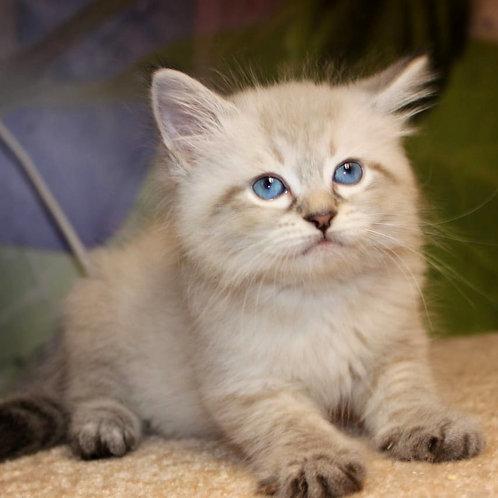 197 Uno      Siberian male kitten