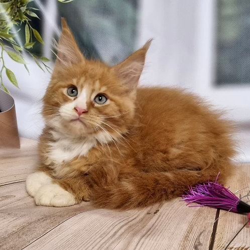 693 Ford  Maine Coon male kitten