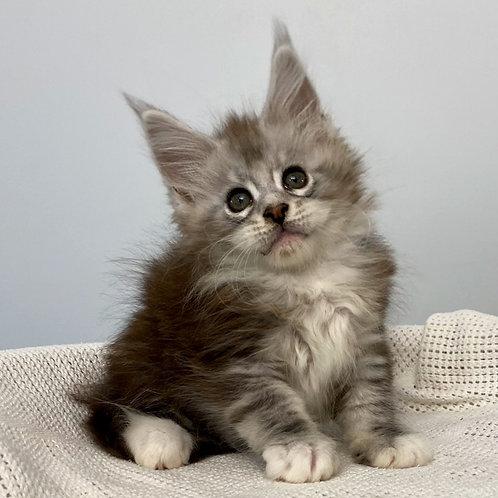 408 Talisman  Maine Coon male kitten