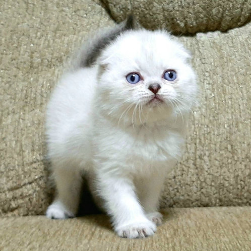 1005 Giorgio Scottish fold shorthair male kitten