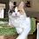 Thumbnail: 718 California  Maine Coon female kitten