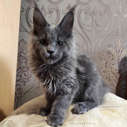 257 Aqua    Maine Coon female kitten