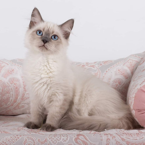 318 Vivien     Siberian female kitten