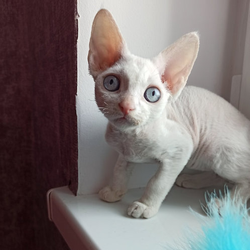 366 Jamala  female kitten Devon Rex