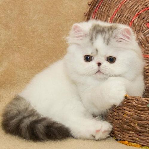 Like Exotic longhair male kitten
