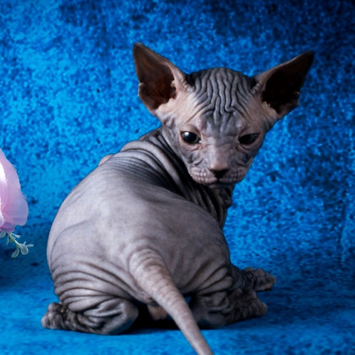 412 Eliaz   male Sphinx Donskoy kitten