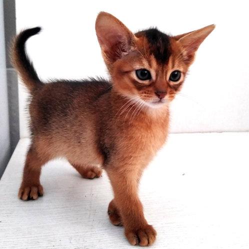 187 Mercury  purebred Abyssinian male kitten