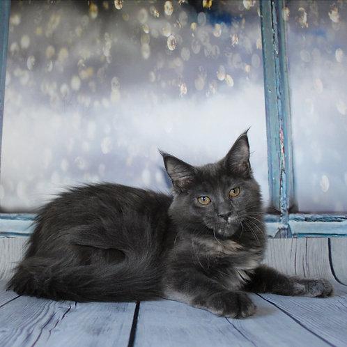 Josie Maine Coon female kitten
