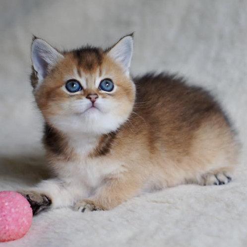 610 Lillian  British shorthair female kitten