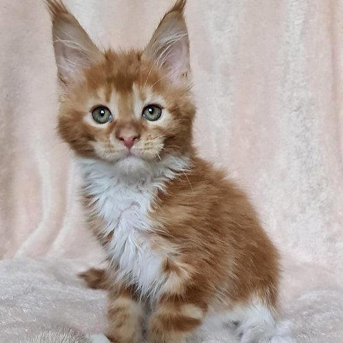 344 X-box   Maine Coon male kitten