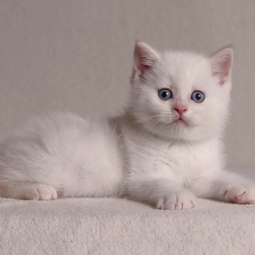 316 Ugg British shorthair male kitten