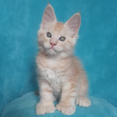 475 Interes polidactil (6/6/6/6)  Maine Coon male kitten