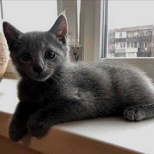 303 Russian Handsome   Russian blue male kitten