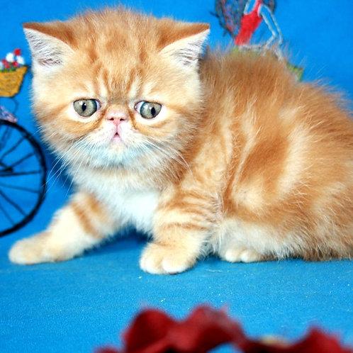 223 Rita   Exotic  female kitten