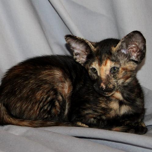 310 Unona   Oriental female kitten
