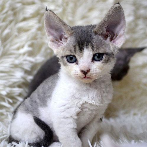265 Mikki  male kitten Devon Rex
