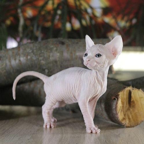 Luanda female Sphinx kitten