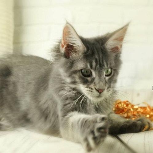 Inga  Maine Coon female kitten