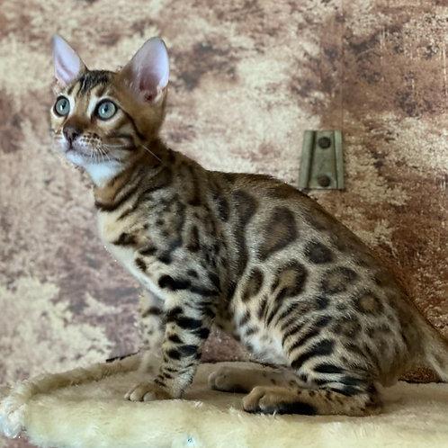 236 Elvis  purebred Bengal male kitten