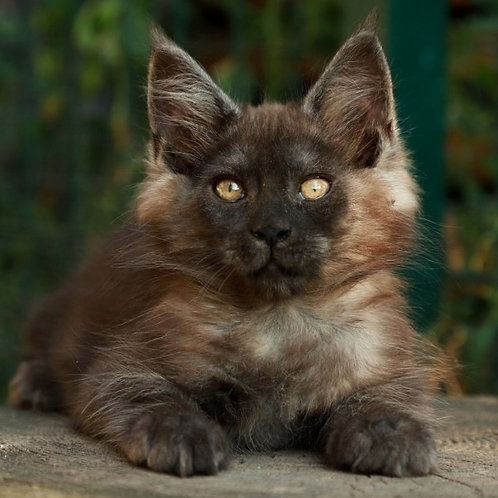 642 Habibe  Maine Coon female kitten