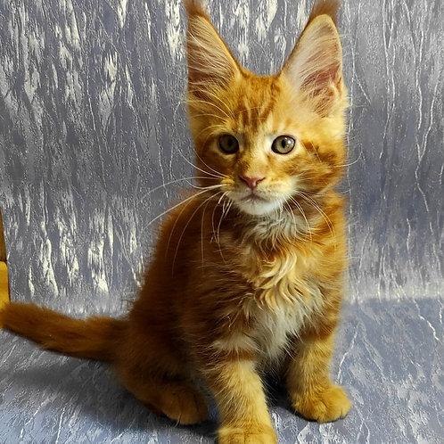 613 Blik  Maine Coon male kitten
