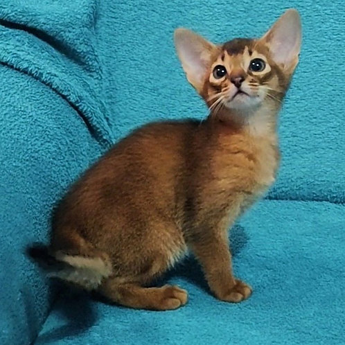 170 Yamir  purebred Abyssinian male kitten