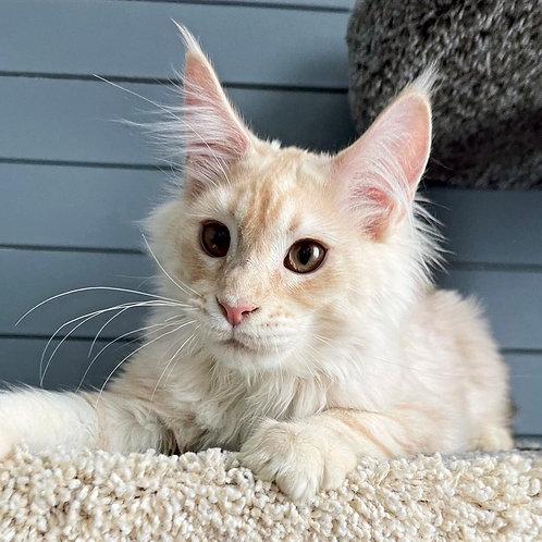 159 Helem  Maine Coon male kitten